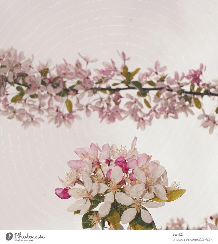 GARLAND tree blossom bleed Twig Small Near Idyll spring Nature Plant Colour photo Exterior shot Deserted Close-up Branch White