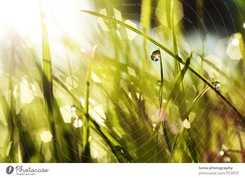 morning-hour Summer Sun Drops of water Sunlight Spring Grass Garden Meadow Fresh Wet Green Dew Blade of grass Reflection Morning Colour photo Exterior shot