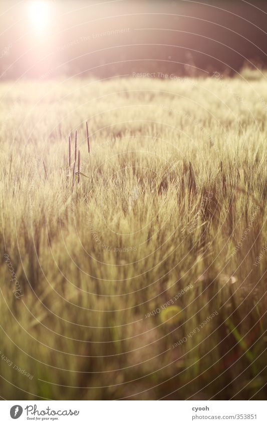 summer warmth Nature Landscape Summer Autumn Beautiful weather Warmth Drought Plant Agricultural crop Field Touch Illuminate To dry up Free Hot Bright Dry Soft