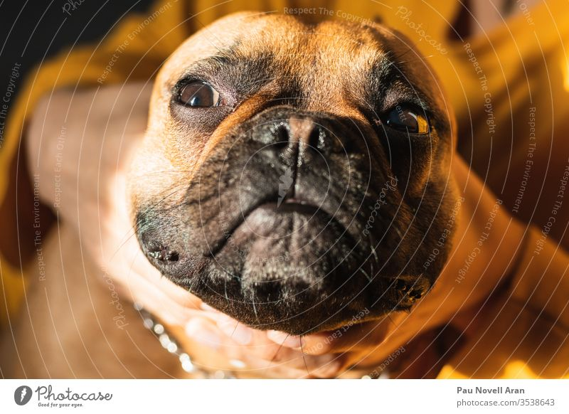 Funny French Bulldog. Close up deformed face brown bulldog french funny portrait puppy happy looking closeup lifestyle doggy human hand owner expression