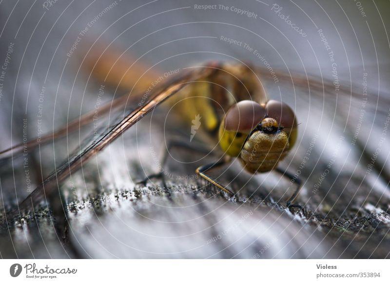 Elegant Sit Esthetic Crouch Dragonfly Compound eye Sympetrum dragonfly