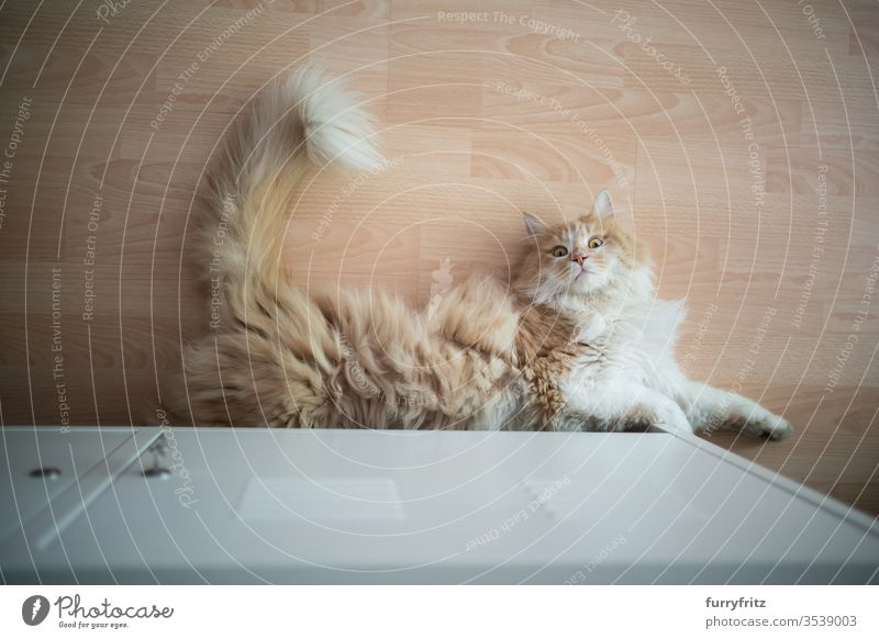 playful Maine Coon cat, lying on the floor and curiously looking into the camera Cat pets One animal indoors White purebred cat Longhaired cat cream tabby