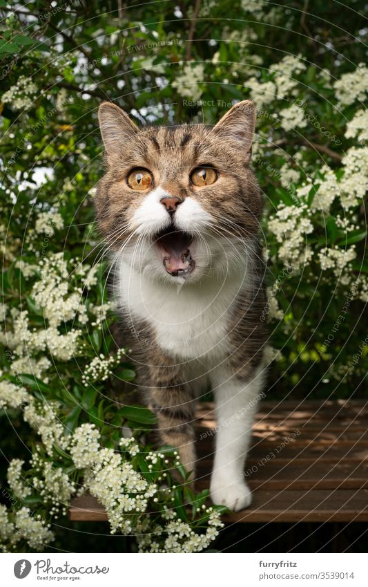 hungry cat with open mouth, standing on a wooden table in the garden and waiting for treats Cat pets One animal Outdoors green Nature Botany plants heyday