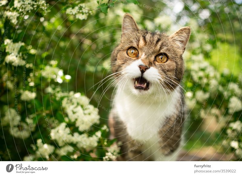 white tabby British Shorthair cat meows in nature Cat pets One animal Outdoors green Nature Botany plants heyday Flowering plant bleed Box joint White