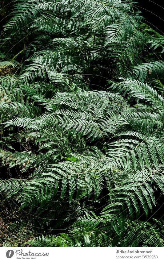 Ferns in the Black Forest Plant Green chlorophyll Colour Guide vascular spore plants Woodground Ground cover plant Undergrowth Nature Growth Soft