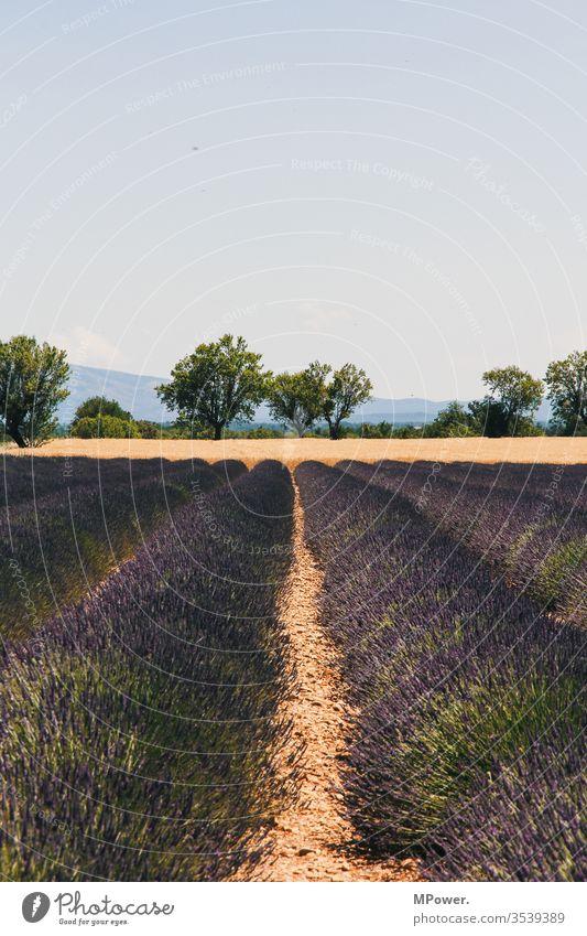 lavender field Lavender Lavender field France flowers provance Violet Provence Deserted Exterior shot Landscape Lavande harvest Central perspective