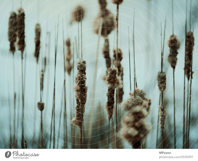 stalks reed Common Reed Nature Colour photo Exterior shot Deserted Lake