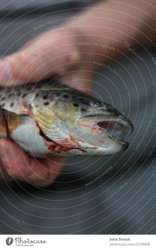 freshly-angled trout Trout Dead animal dead Fresh Fish blossom butcher stop gill hands points Air