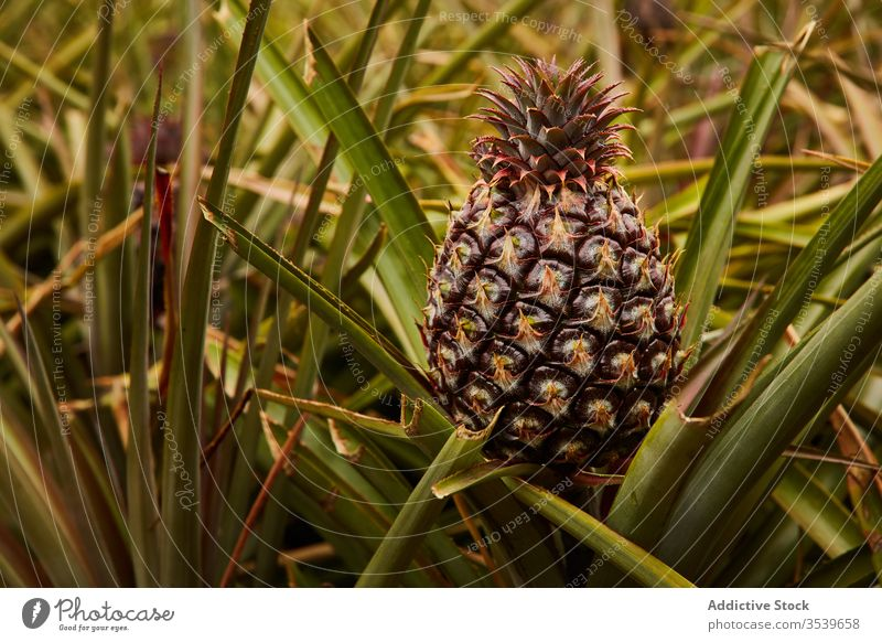Tropical pineapple growing on tree tropical bush growth el hierro canary islands green cultivation agriculture fresh plant plantation nature fruit exotic summer