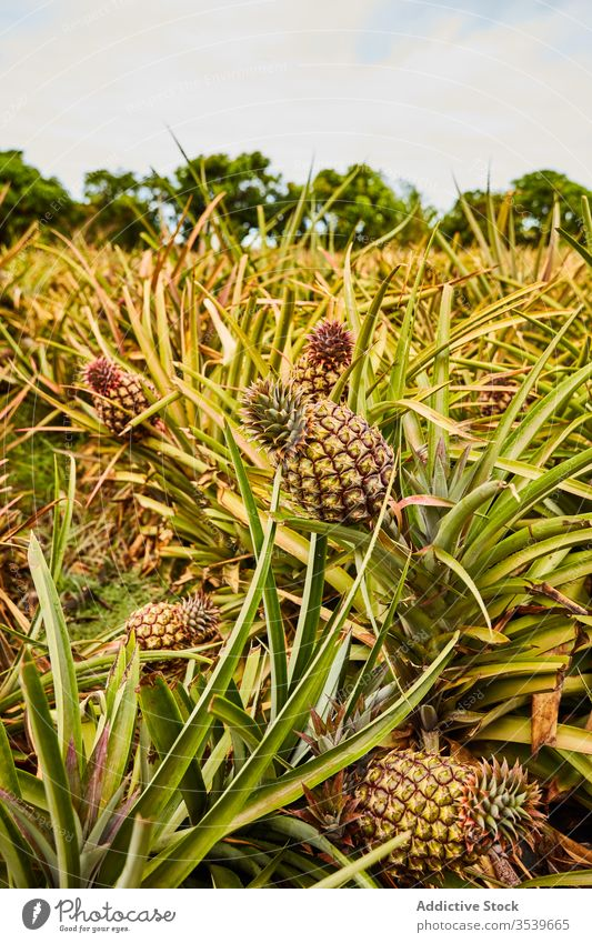 Tropical pineapples growing on tree tropical bush growth el hierro canary islands green cultivation agriculture fresh plant plantation nature fruit exotic