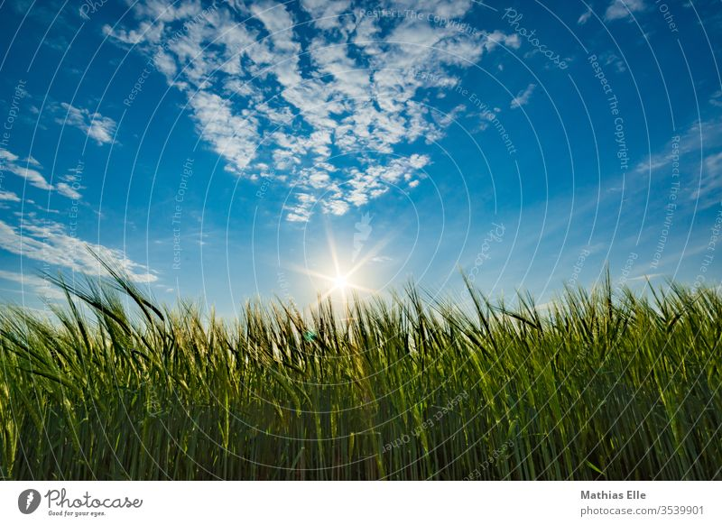 Sunset at the wheat field Worm's-eye view Oats Genetic engineering Forestry Soft Food Deserted Agricultural product Rye flour Wheatfield Vegetarian diet stedded