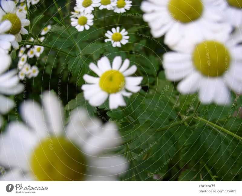 Nature Plant Daisy Depth of field Hippie