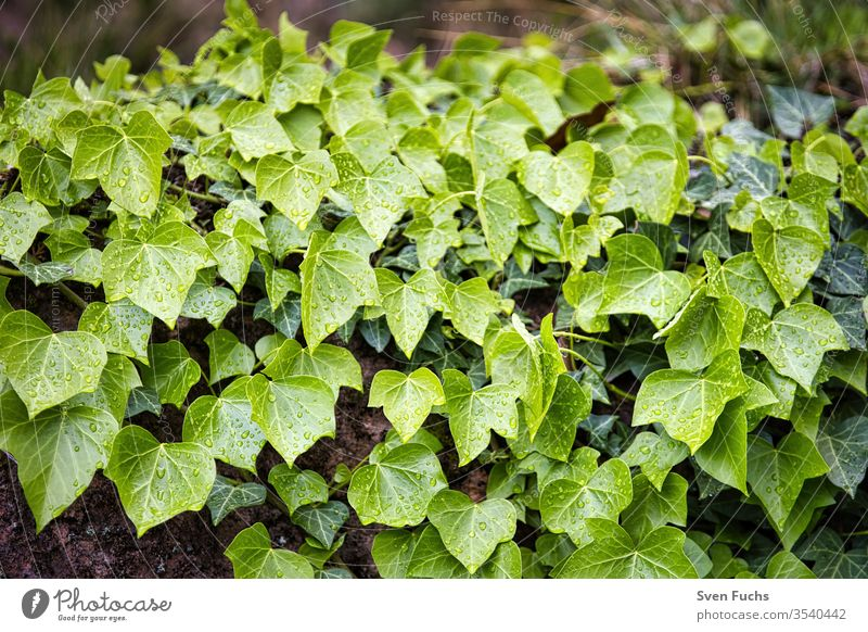 Ivy growing down a wall leaves efeupflanze ivy wall flora Plant Nature green Garden flaked background Fresh natural Close-up foliage Summer Growth Organic