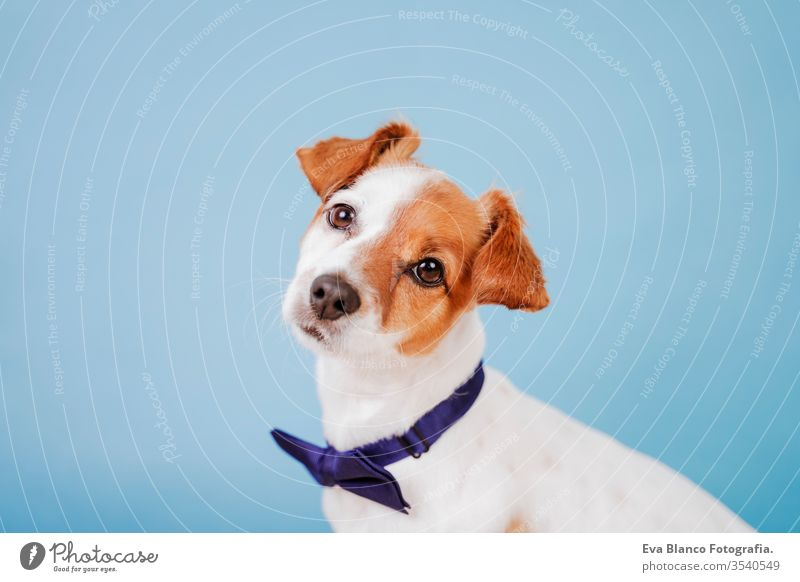 portrait of cute jack russell dog wearing a bow tie over blue background. Colorful, spring or summer concept pet beautiful small isolated funny adorable