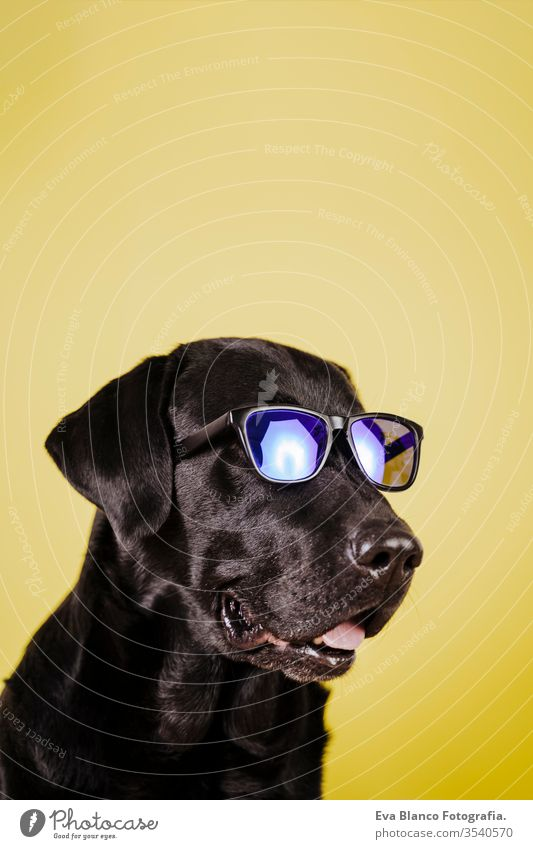 portrait of beautiful black labrador over yellow background. Colorful, spring or summer concept sunglasses dog pet cute puppy purebred room 1 terrier canine