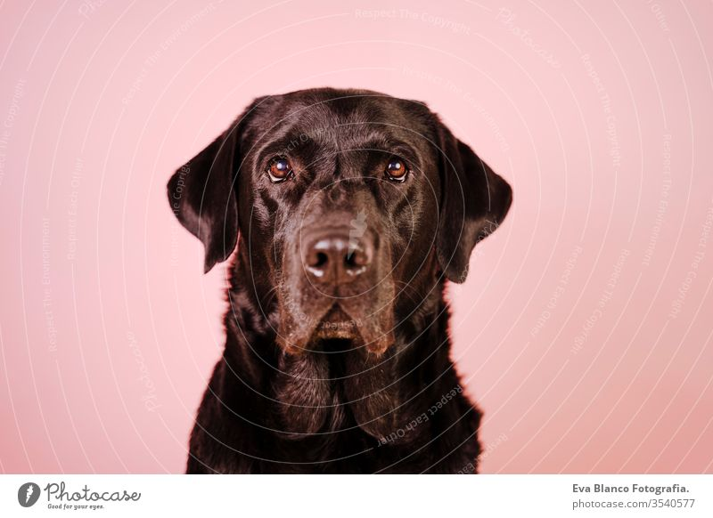 portrait of beautiful black labrador over pink background. Colorful, spring or summer concept dog pet cute puppy purebred room 1 terrier canine sitting animal