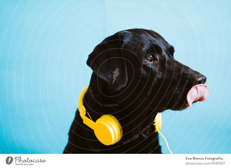 portrait of beautiful black labrador dog wearing yellow headset over blue background. Colorful and spring concept purebred house hear breed sing leisure