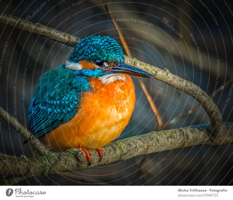 Lakefront Kingfisher kingfisher Alcedo atthis Head Eyes Beak feathers plumage Grand piano portrait Animal portrait Wild animal birds Nature Twigs and branches