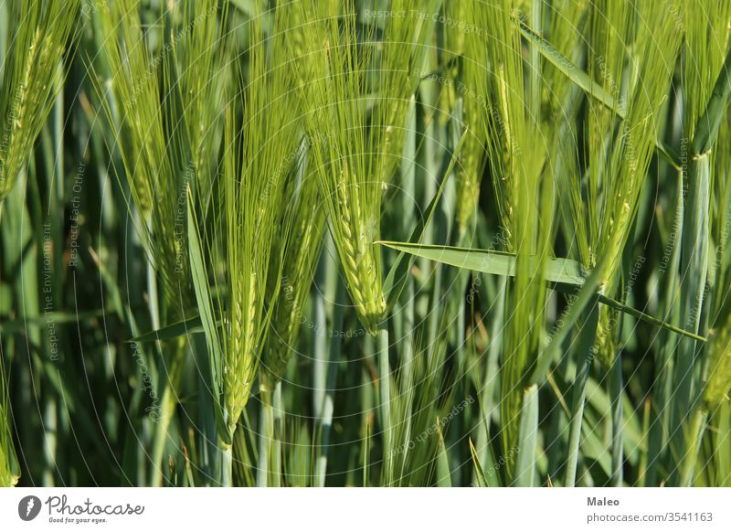 Green winter crops in the fields began to spike agriculture autumn background barley black blue cereal clouds cold conkers corn countryside ears environment