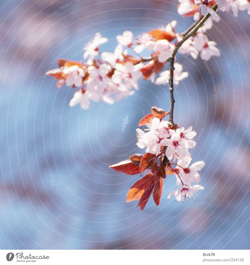 Blue White Plant Tree Red Leaf Black Life Spring Blossom Garden Natural Pink Park Idyll Growth