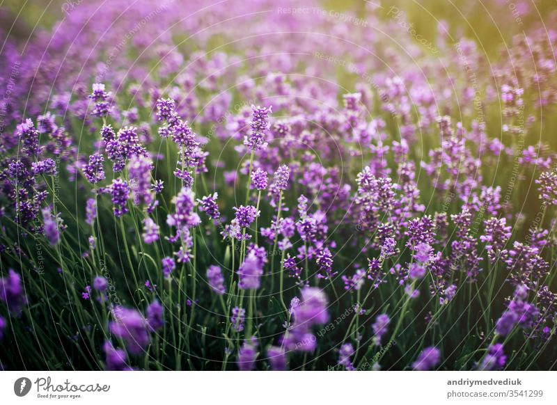 Sea of lavender flowers focuses on one in the foreground. Field of lavender Lavender heyday France Violet Landscape Nature Summer spring aromatherapy background