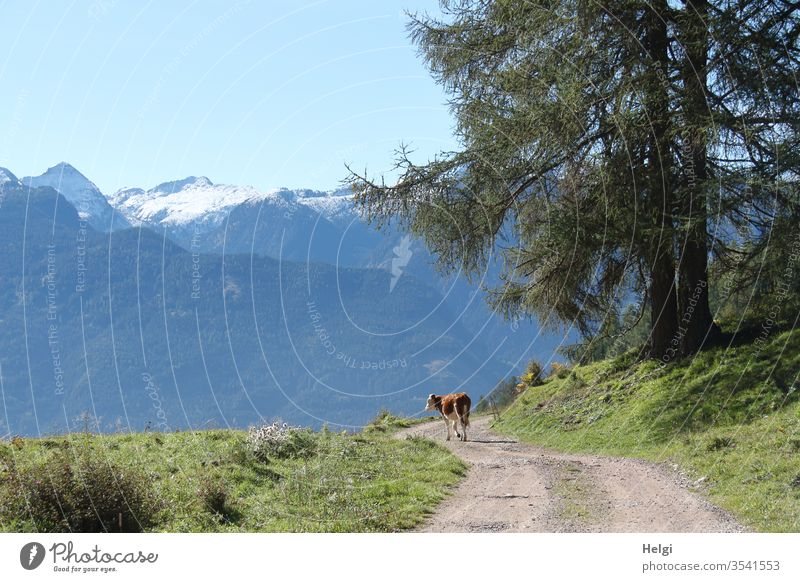 alone on a hike - lonesome cattle runs on a hiking trail in the mountains and looks to the side Cattle Alpine pasture South Tyrol off chill Animal Pet