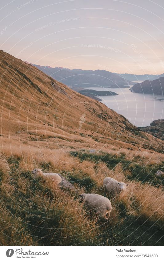 #As# slope sheep Sheep New Zealand New Zealand Landscape Mountain Slope Mountain range mountains Mountain meadow Exterior shot Nature Colour photo Environment