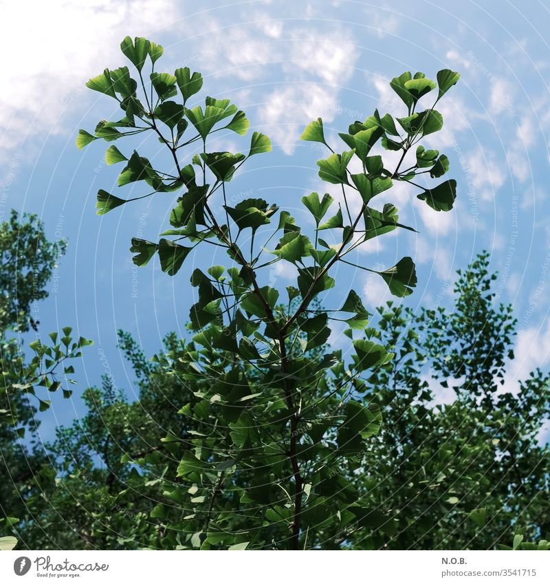 A branch of a ginkgo tree against a blue sky. Ginko flaked Colour photo Plant Nature Close-up Exterior shot Deserted green Sunlight Healthy Fitness TCM