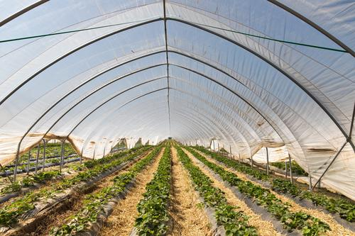Strawberry cultivation fruit Red Nutrition Delicious Colour photo Food Vitamin Vitamin-rich Healthy Eating Greenhouse plastic tarpaulin series Agriculture