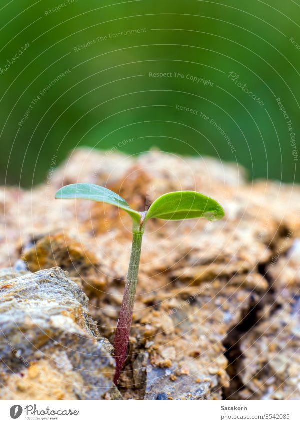 Young seeding sprout up rocky mountain soil green seedling young plant life new nature growth germination small background concept fresh leaf spring stone