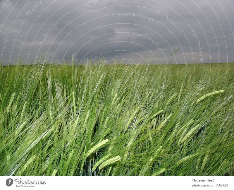 Wheat and clouds Clouds Manmade landscape Moody Grain Weather