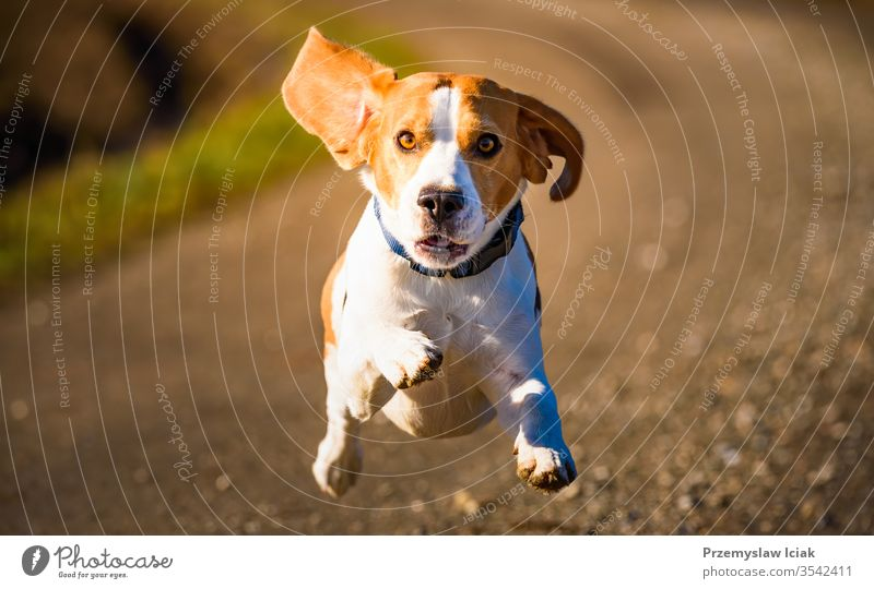 Dog Beagle running fast and jumping with tongue out on the rural path Outdoors Puppy Summer action activity adorable agile animal beautiful breed canine clever