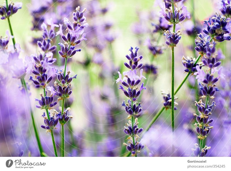 Nature Summer Plant Blossom Blossoming Violet Fragrance Lavender Lavender field