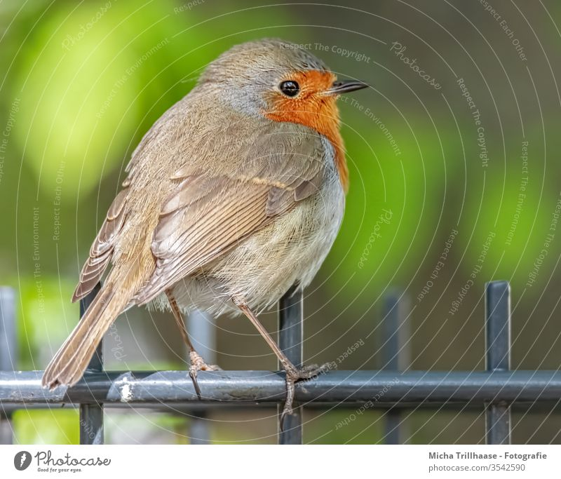 Robin on the garden fence Robin redbreast Erithacus rubecula birds Wild bird Animal face Beak Eyes Grand piano feathers plumage Legs Wild animal Nature Close-up