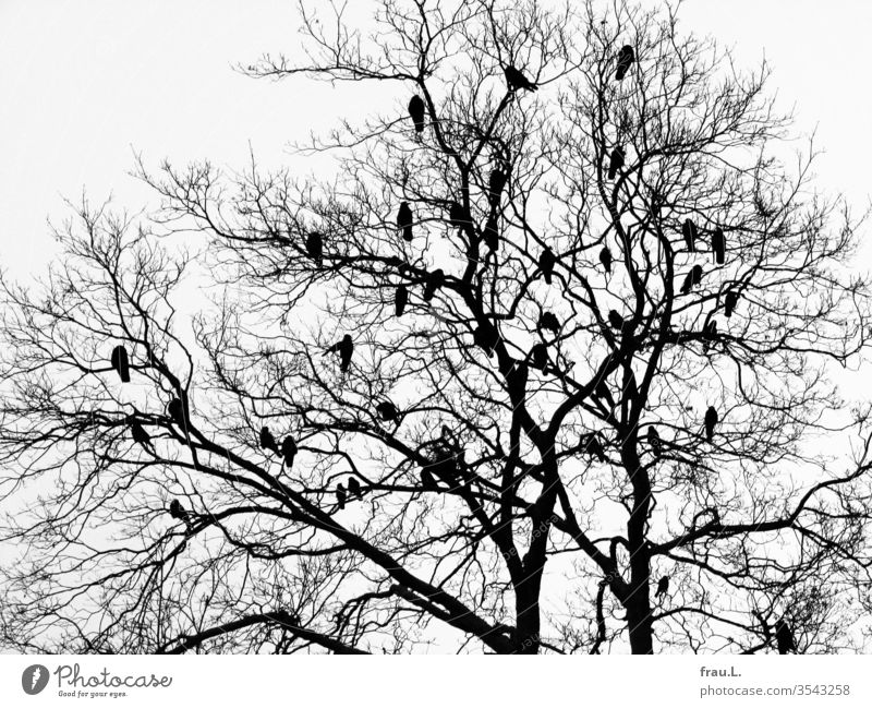 In the bare branches of the tree the birds plan their cloud cuckoo's home. crow Nature Exterior shot Winter