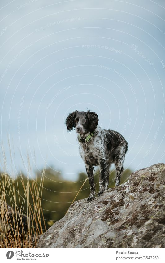 Dog Brittany Spaniel standing on the rocks hunting dog Pet Day Animal Hunting Playing portrait Purebred dog Hound Colour photo dog school Mammal breed of dog