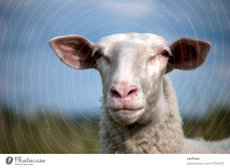 Animal full of sheep photo Farm animal Animal face Pelt 1 To feed Cuddly Cute Happiness Contentment Cool (slang) Trust Safety (feeling of) Attentive Sheep
