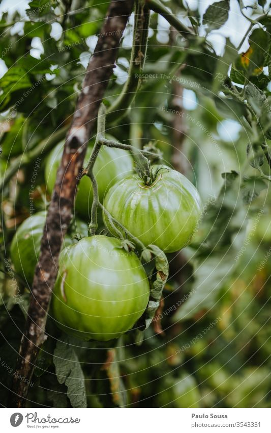 Organic green tomatoes Tomato Organic produce Organic farming bio freshness Green Close-up organic Delicious agriculture Healthy Eating food Fresh Exterior shot