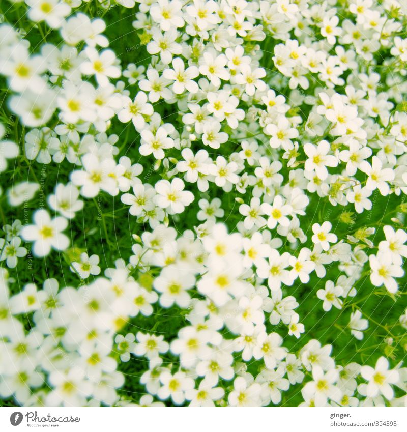 I'll bed you on a carpet of flowers. Environment Plant Flower Yellow Green White Carpet Many Muddled Small Delicate Cross processing Growth Closed Upward