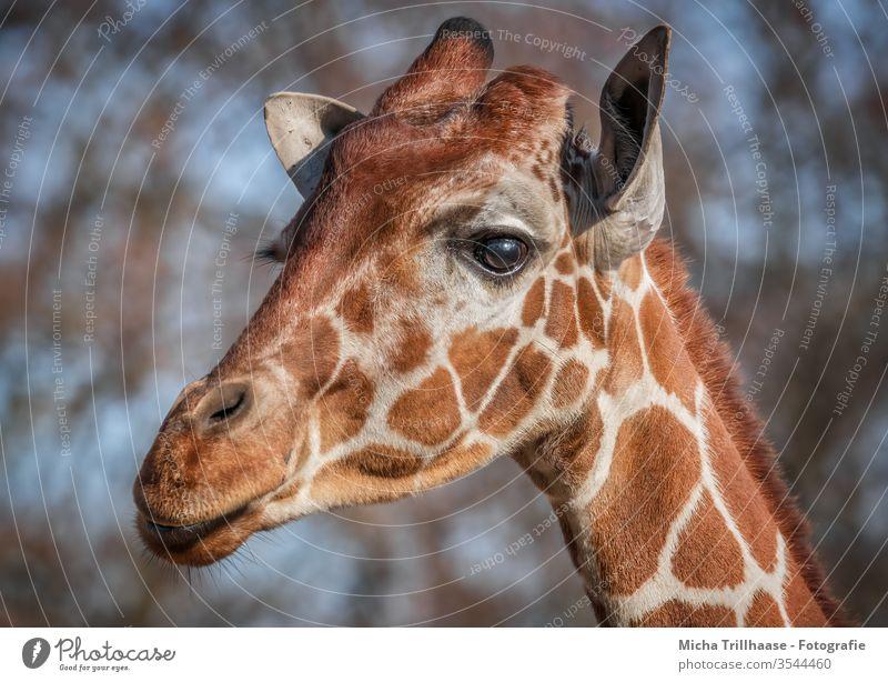 Giraffe Portrait giraffa Animal Wild animal Head Face Eyes ears Nose Muzzle Pelt Neck Animal portrait Animal face Nature Close-up Looking Sunlight sunshine
