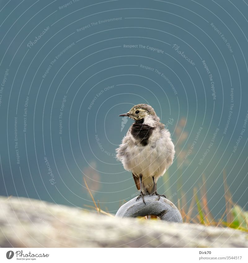 Portrait of a wagtail on the Sognefjord in Norway songbird birds 1 Animal Exterior shot Colour photo Nature Day Wild animal Animal portrait Deserted