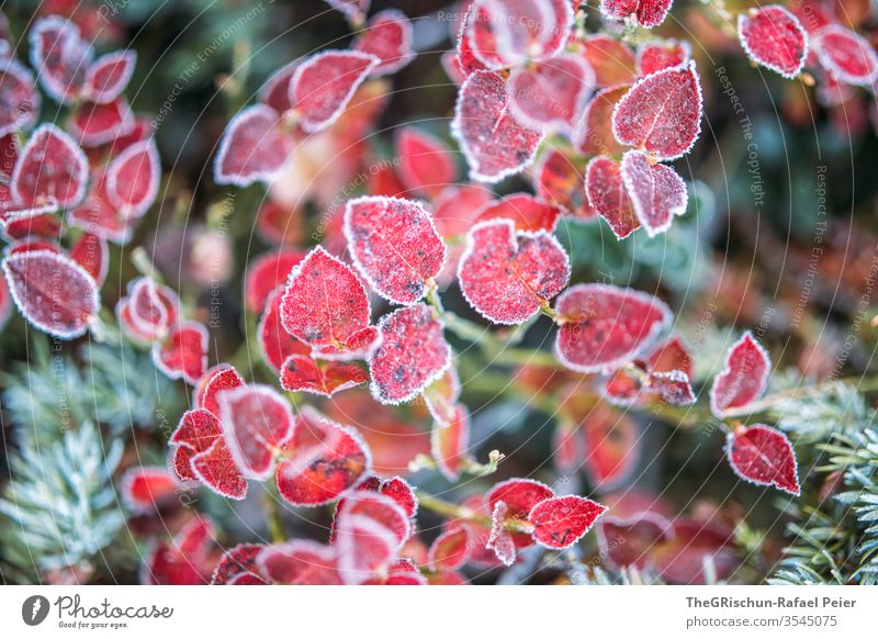 Red leaves - frost cover Frost chill Autumn Coniferous trees shrub Exterior shot Plant Detail Nature Colour photo Shallow depth of field