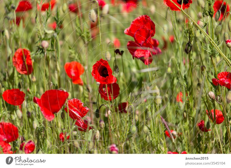 A section of a poppy flower field flowers Meadow Poppy Summer Red Corn poppy Colour photo Poppy field Intensive Poppy blossom Field Exterior shot Plant Many