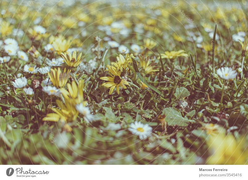 field full of flowers, early spring no one outdoors field of flowers beauty colorful floral fresh garden grass petal yellow background closeup natural day