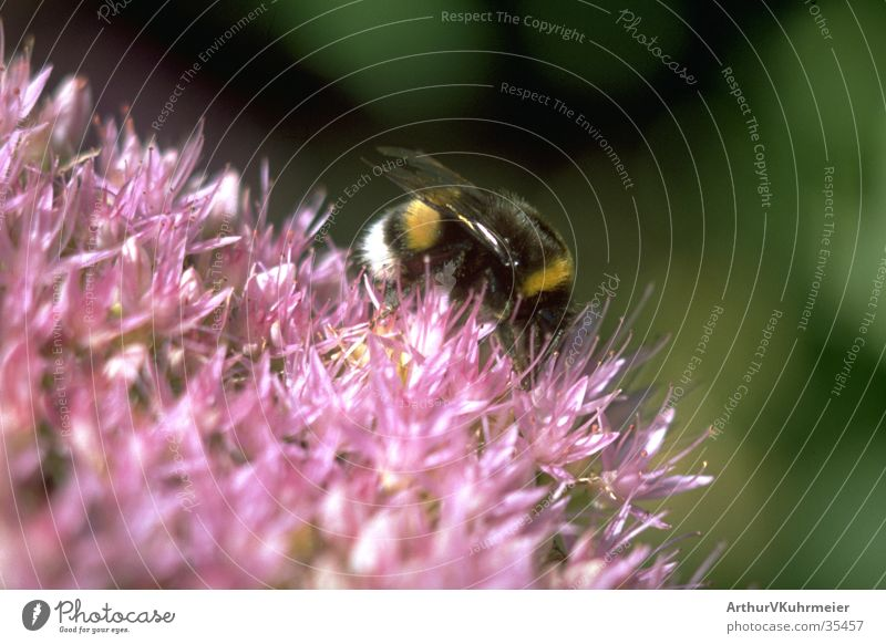 Insect Diagonal Bumble bee