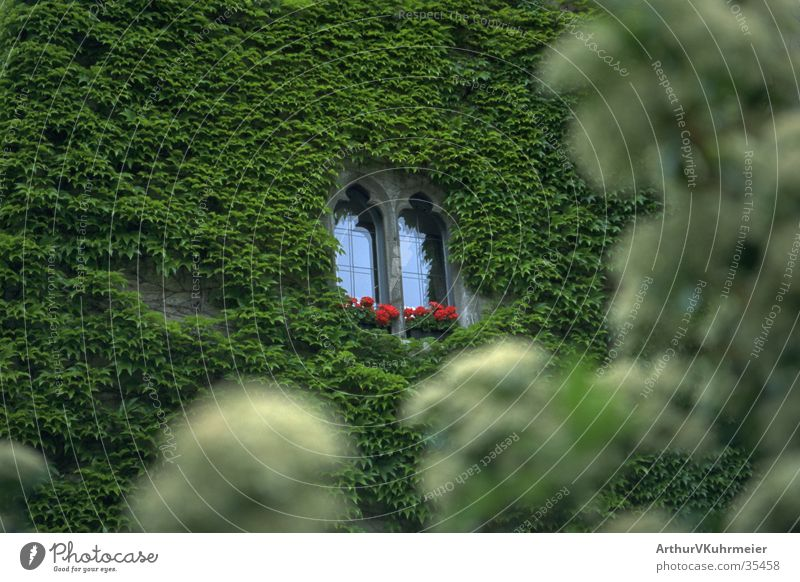Sleeping Beauty Castle Window Ivy Wall (building) Wall (barrier) Architecture green plant Foreground blurred red flowers Hide Overgrown