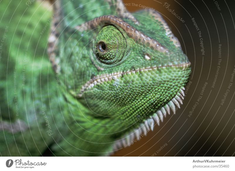 Green Eyes Animal Saurians Ferocious Chameleon