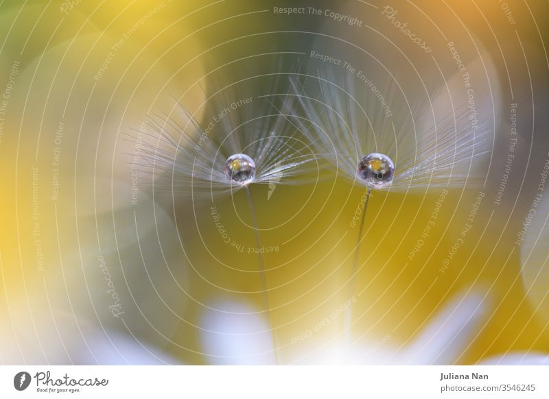 Beautiful Nature Background.Floral Art Design.Abstract Macro Photography.Pastel Flower.Dandelion Flowers.Yellow Background.Creative Artistic Wallpaper.Wedding Invitation.Celebration,love.Close up View.Water Drops.Tranquil Natural Background.Golden Color.