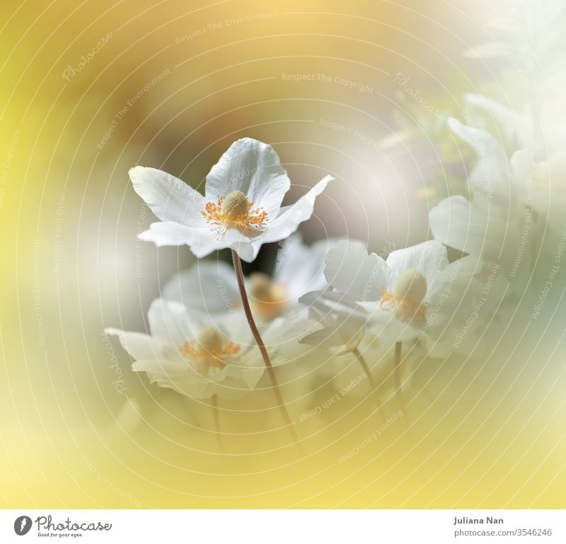 Beautiful Nature Background.Floral Art Design.Abstract Macro Photography.White Anemone Flower.Pastel Flowers.Yellow Background.Creative Artistic Wallpaper.Wedding Invitation.Celebration,love.Close up View.Happy Holidays.Golden Color.Copy Space.