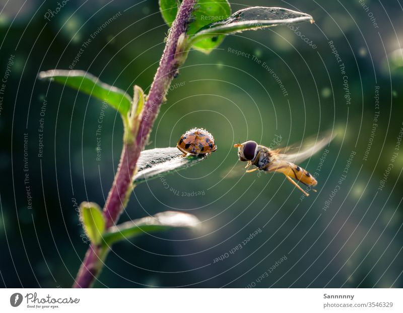 Hoverfly and ladybird Hover fly Flying Ladybird Beetle Perspective Floating small talk Rain Insect green Nature Love of nature